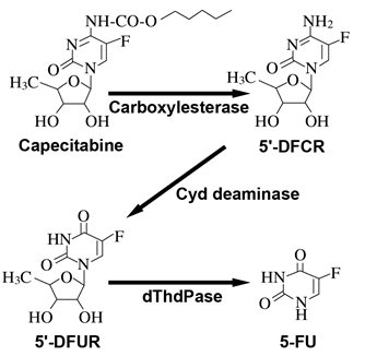 Metabolic Pathway of Capecitabine to 5-FU